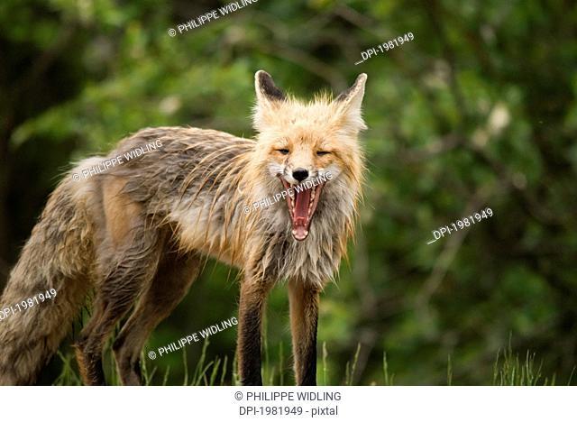 red fox vulpes vulpes in prince albert national park, saskatchewan canada