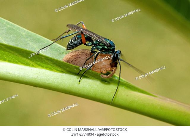 Wasp (Hymenoptera order), with captured Jumping Spider (Natta sp. ) (with legs removed), Klungkung, Bali, Indonesia