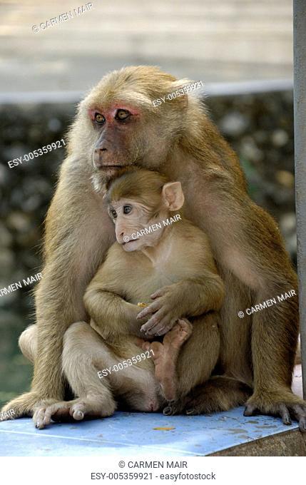 Rhesusaffen vor der Monkey Cave