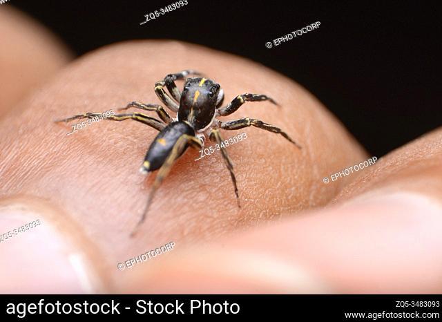 Dorsal of Spine head jumping spider, Cyrba ocellata, habitat in subtropical areas of India