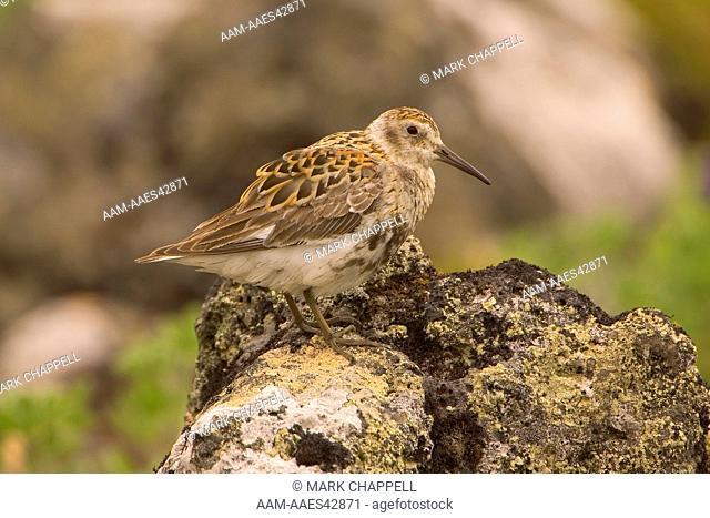 Rock Sandpiper of the Pribilofs race - summer plumage (Calidris ptilocnemis), St. Paul Island, Pribilofs, Alaska