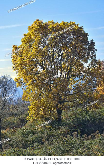 Quercus pyrenaica in autumm