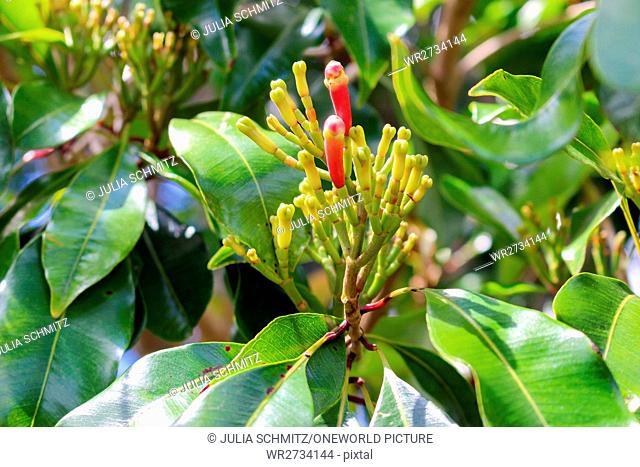 Tanzania, Zanzibar, Pemba Island, Carnation Trees, clove bud