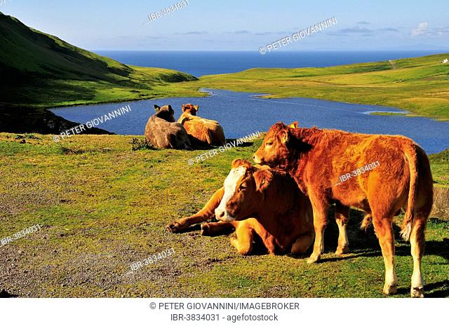 Resting cows with a calf at a vantage point, Neist Point, Ross, Skye and Lochaber, Isle of Skye, Scotland, United Kingdom