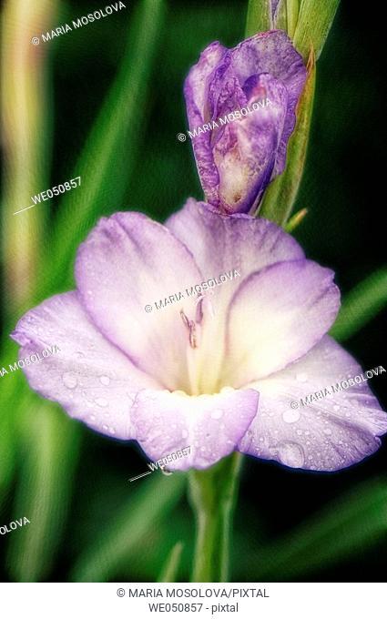 Gladiolus hybrid. July 2006. Maryland, USA