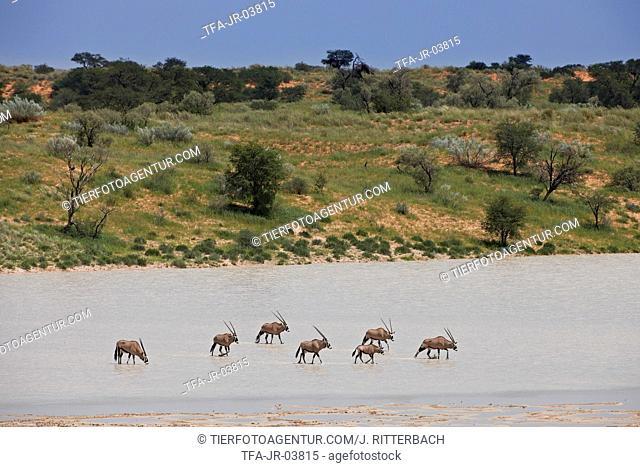 African Oryx