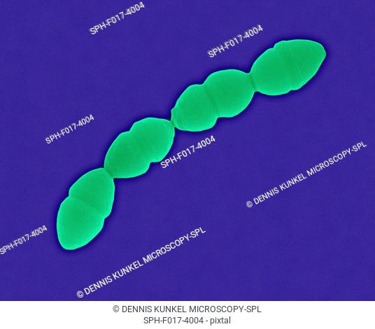 Coloured scanning electron micrograph (SEM) of Streptococcus pneumoniae , Gram-positive, encapsulated, coccus prokaryote (dividing)