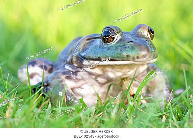 photo of a North American Bullfrog sitting in green grass