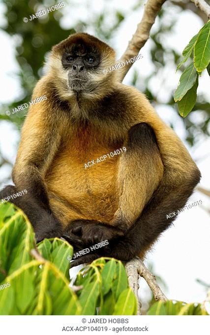 Spider Monkey, Ateles geoffroyi, Central America, Costa Rica