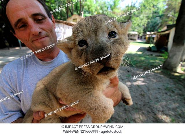 A zookeeper plays with 30 days old, still unnamed lions, at the Zoo of the town of Razgrad north-east of the Bulgarian capital Sofia (02Sep14)