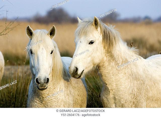 Camargue Horse, Saintes Maries de la Mer in the South East of France