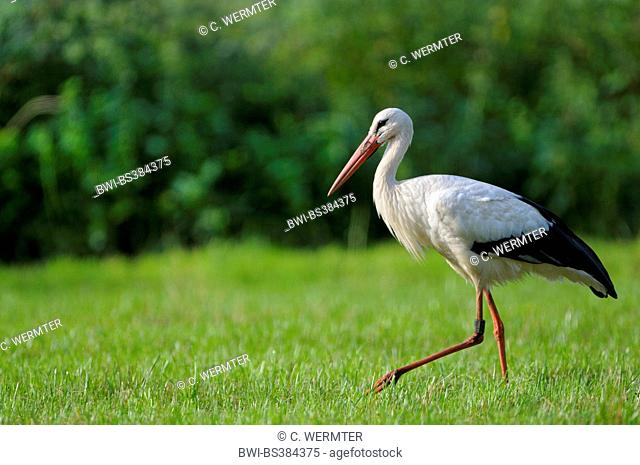 white stork (Ciconia ciconia), searching food in a meadow, Germany, North Rhine-Westphalia, NSG Dingdener Heide