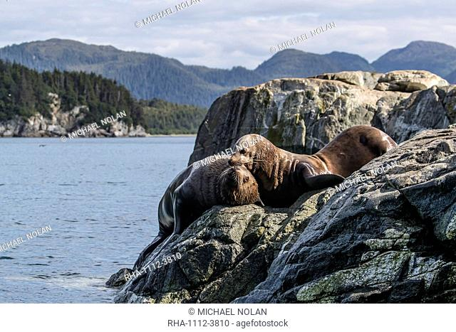 Adult bull Steller sea lions (Eumetopias jubatus), mock fighting, Inian Islands, Alaska, United States of America, North America