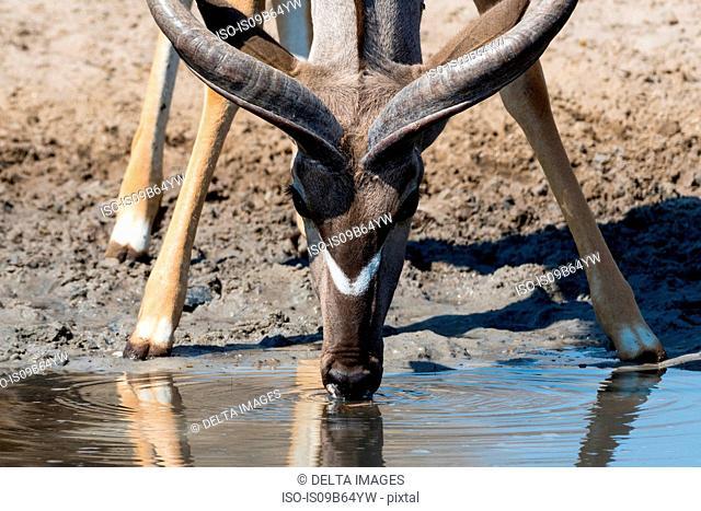 Portrait of Greater kudu (Tragelaphus strepsiceros), Kalahari, Botswana, Africa