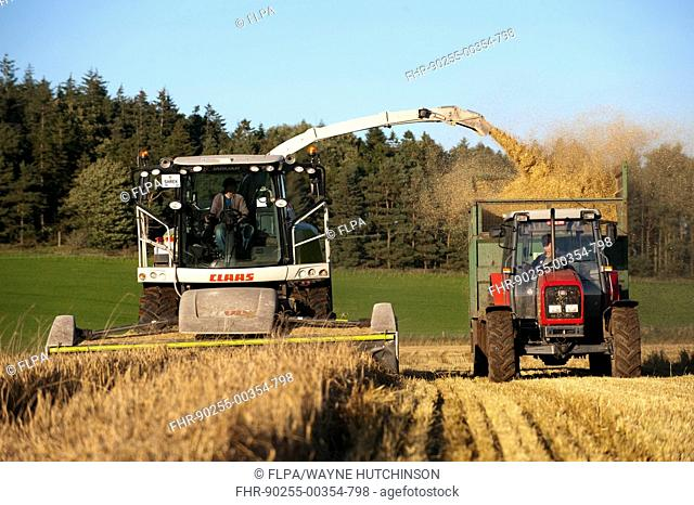 Claas forage harvester unloading into tractor with trailer, making alkalage with wholecrop cereals for animal feed, Cumbria, England, september