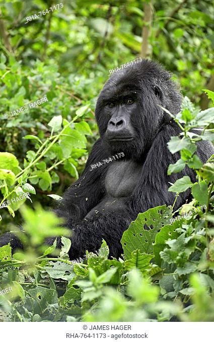Silverback mountain gorilla Gorilla gorilla beringei, Shinda Group, Volcanos National Park, Rwanda, Africa