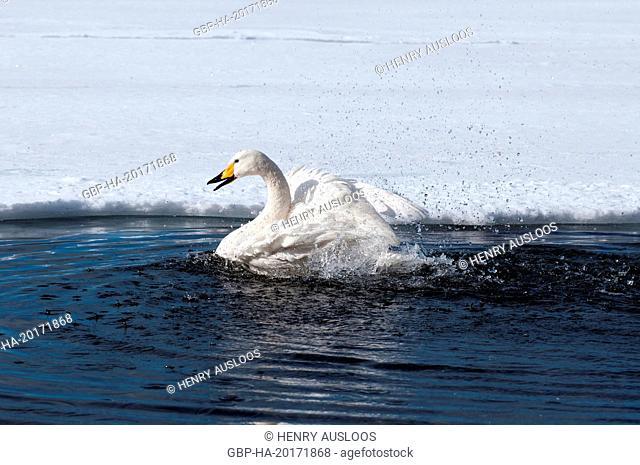 Whooper swan (Cygnus cygnus) , Japan