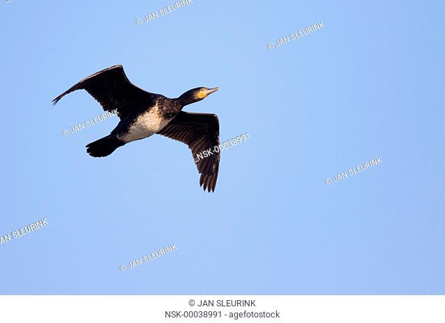 Great Cormorant (Phalacrocorax carbo) in flight against a blue sky, The Netherlands, Gelderland, Arkemheen polder
