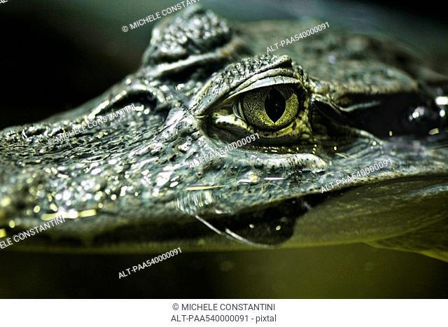 Caiman Crocodilus yacare