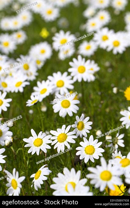 Close view of a beautiful field of white daisy flowers