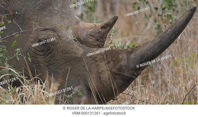 White Rhinoceros or Square-lipped Rhinoceros or rhino(Ceratotherium simum) bull portrait. Hluhluwe iMfolozi Park. KwaZulu Natal. South Africa