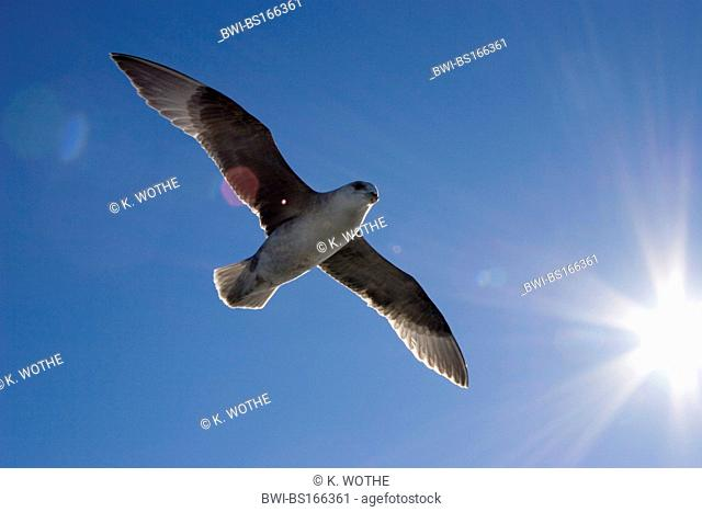 northern fulmar (Fulmarus glacialis), flying, Norway, Svalbard