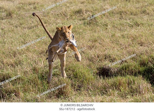 African Lion (Panthera leo). Lioness with Thomsons Gazelle (Eudorcas thomsoni) prey leaping over a ditch. Masai Mara, Kenya