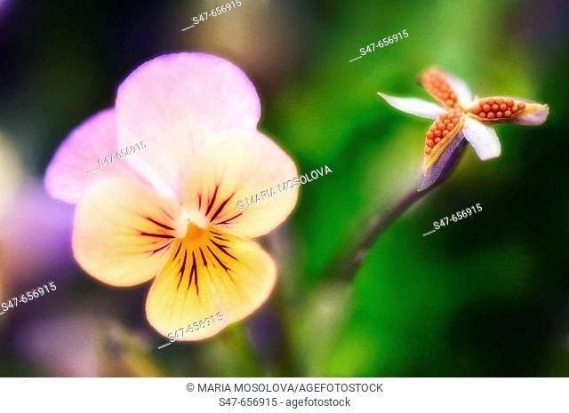 Pansy Flower and Seedpod. Viola x wittrockiana. May 2007, Maryland, USA