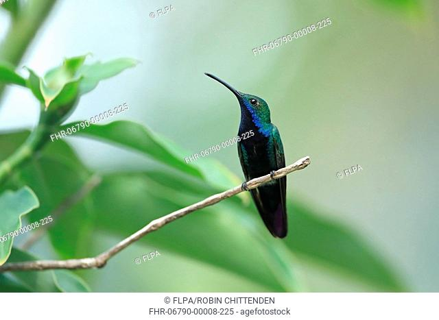 Black-throated Mango (Anthracothorax nigricollis) adult male, perched on twig, Trinidad, Trinidad and Tobago, April