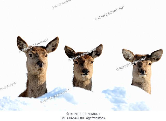 Red deer hinds in the snow, Cervus elaphus