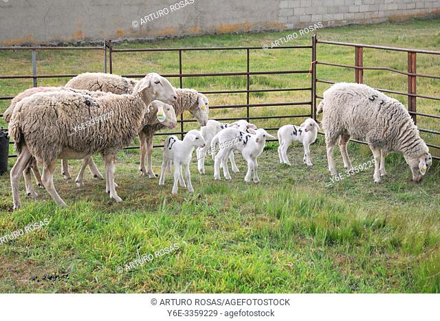 Sheeps and lambs in a little town of the province of Segovia, Spain