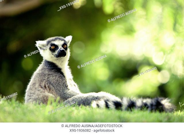 Lemur in captivity, Bioparc Valencia, Spain