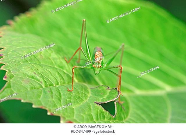 Speckled Bush-cricket, male, North Rhine-Westphalia, Germany / Leptophyes punctatissima