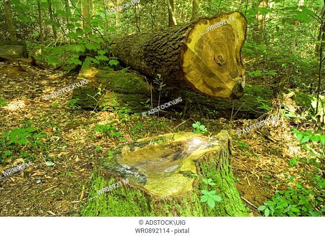 Cut Tree, Cherokee Orchard Area, Great Smoky Mtns NP, TN