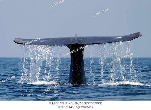 Adult blue whale (Balaenoptera musculus) fluke-up dive in the offshore waters of Santa Monica Bay, California, USA. The blue whale is the largest animal to ever...