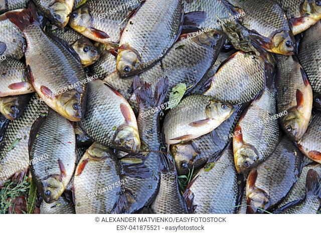 Caught crucians. Successful fishing. A lot of crucian carp Carassius carassius. Freshly caught river fish. Caught fishes after lucky fishing