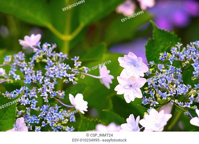 aqua and green hydrangea flowers