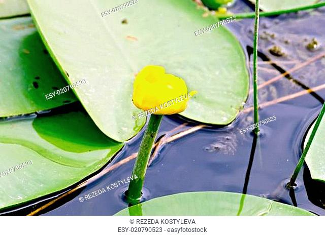 Nenuphar yellow with leaves