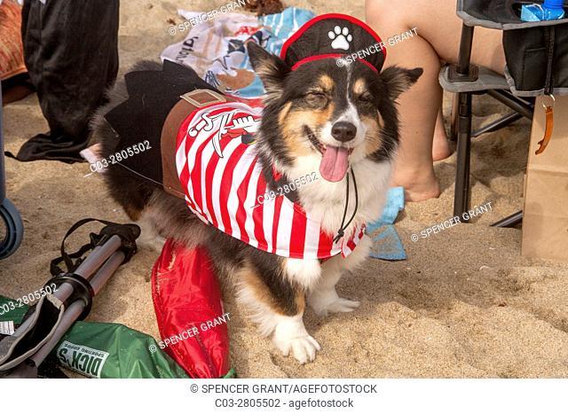 A Welsh Corgi dog wears a lobster costume at a Corgi dog festival on the sand in Huntington Beach, CA
