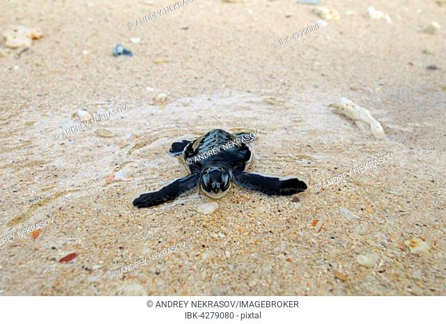 Baby Pacific green turtle or green sea turtle (Chelonia mydas) enters water, Redang island, Malaysia