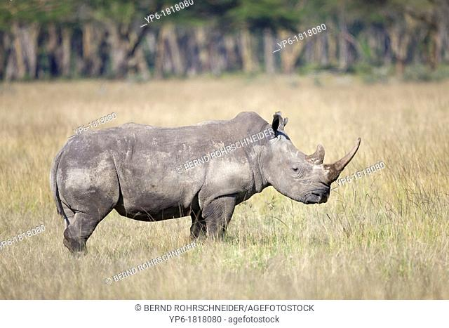 White Rhinoceros Ceratotherium simum standing in savannah, Lake Nakuru National Park, Kenya