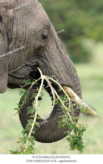 African Elephant Loxodonta africana adult female, close-up of head, feeding on acacia branch, Masai Mara, Kenya