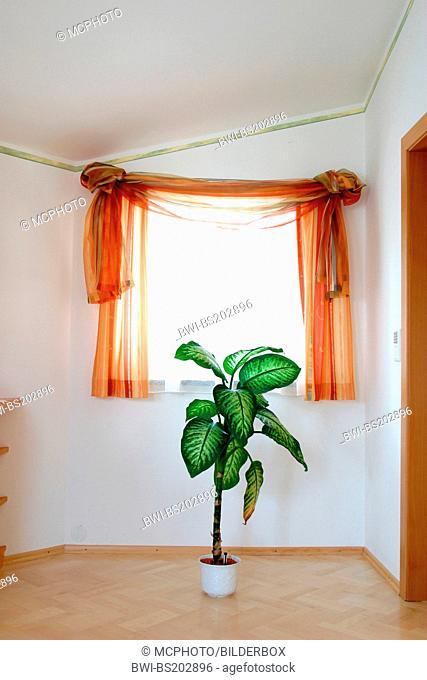 dumb cane (Dieffenbachia spec.), foliage plant infront of a window