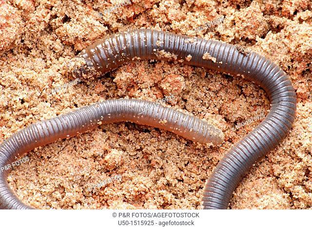 Giant Amazonian earthworm, Chibui bari, Oligochaeta, Annelida   Animal 50cm lenght