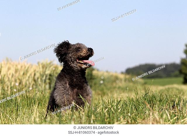 Pumi, Hungarian Herding Terrier. Gray bitch sitting on a meadow. Germany