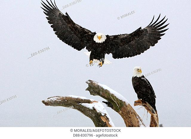 Bald Eagle (Haliaeetus leucocephalus). Alaska, USA