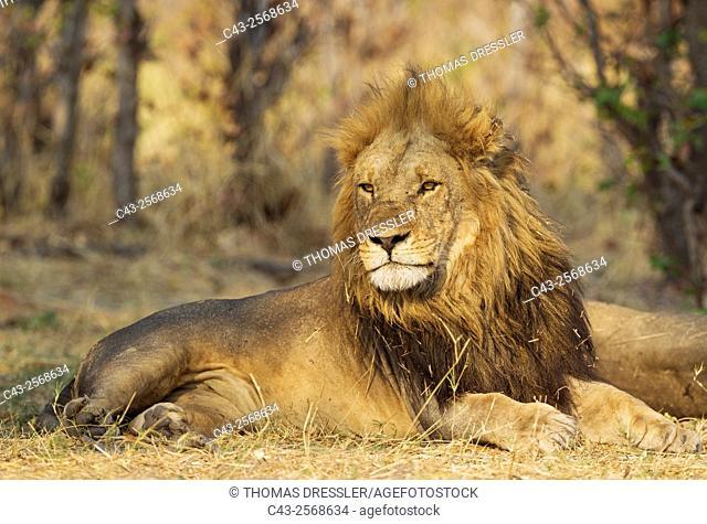 Lion (Panthera leo) - Resting male. Savuti, Chobe National Park, Botswana