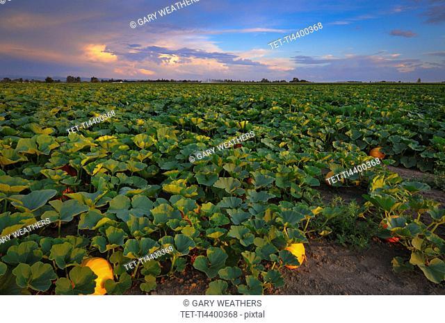 USA, Oregon, Marion County, Pumpkin Patch