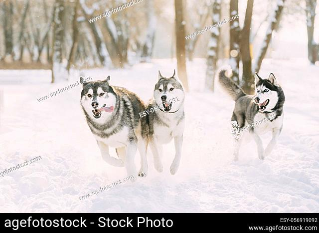 Three Funny Happy Siberian Husky Dogs Running Together Outdoor In Snowy Park At Sunny Winter Day. Smiling Dog. Active Dogs Play In Snow