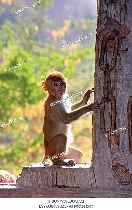 Rhesus macaque (Macaca mulatta) sitting on gate of Taragarh Fort, Bundi, Rajasthan, India